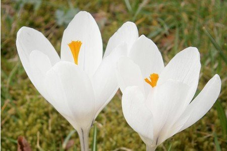 Joan of Arc (Crocus vernus 'Joan of Arc') crocus bulbs