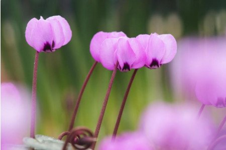 Cyclamen coum in January