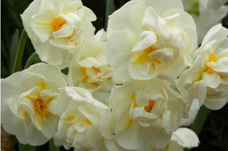 Cheerfulness (Narcissus 'Cheerfulness') daffodil bulbs