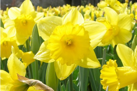 King Alfred (Narcissus 'King Alfred') daffodil bulbs
