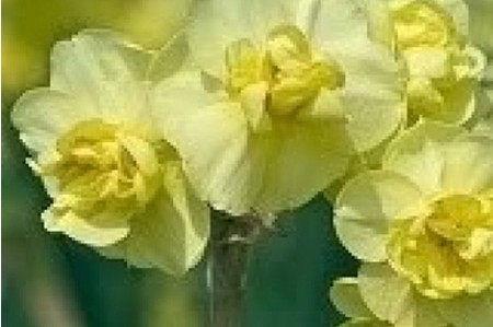 Yellow Cheerfulness (Narcissus 'Yellow Cheerfulness') daffodil bulbs