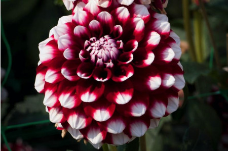 Checkers Dahlia in July