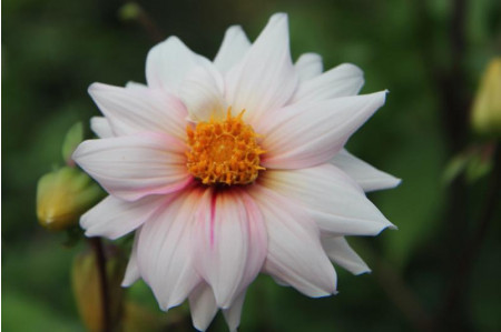 Edge of Joy Dahlia