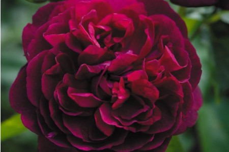 Darcy Bussell English Rose