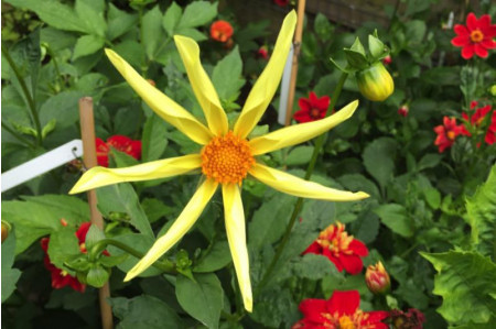 Honka Yellow Dahlia flower