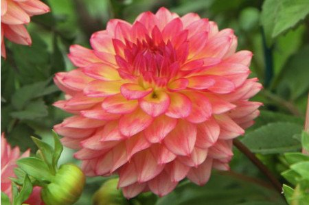 Lakeland Autumn Dahlia flower