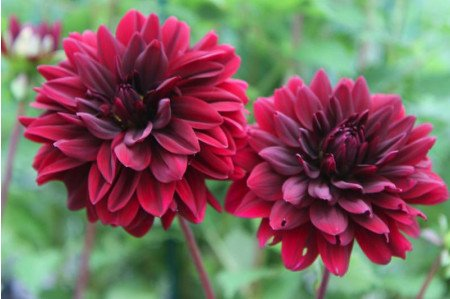 Sam Hopkins Dahlias