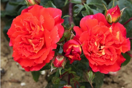 Eternal Flame - Floribunda