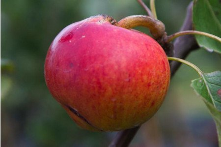 Ripe Fiesta Apple