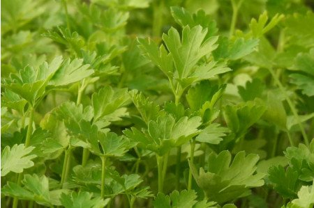 Flat Leaf Parsley Plants