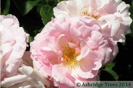 Fritz Nobis - Shrub Rose