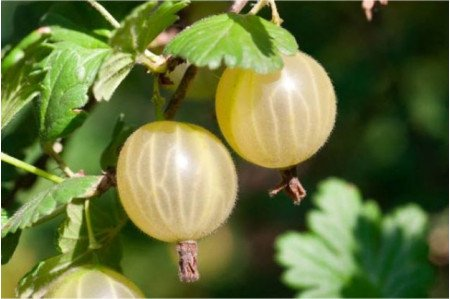 Invicta Cooking Gooseberries