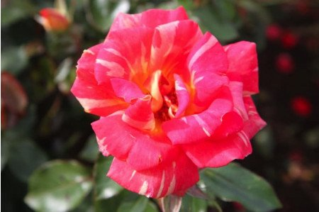 Harry Wheatcroft Hybrid Tea Rose
