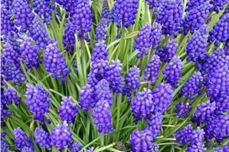 Grape Hyacinth (Muscari Armeniacum) hyacinth bulbs
