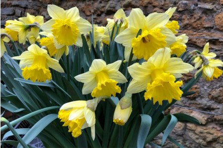 Clump of Irish Luck Daffodils