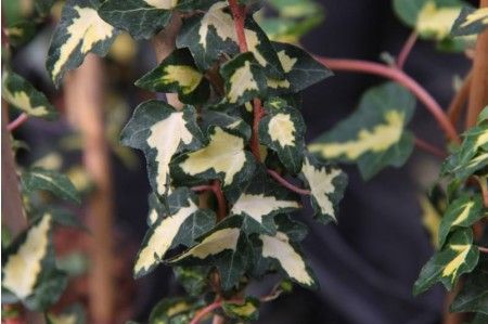 Goldheart Ivy Variegated leaves