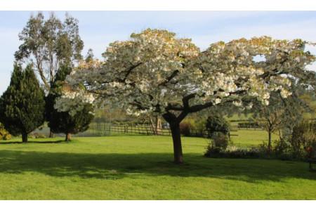 Cherry, Great White (Prunus Tai-Haku)