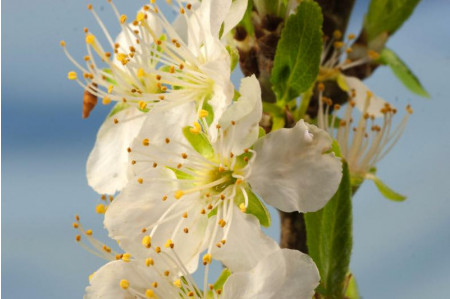 Jeffersons Gage tree blossom