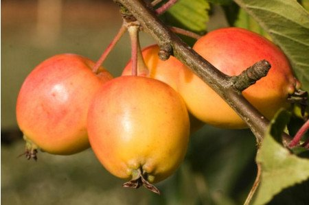 John Downie Crab apples