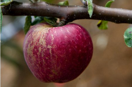 Kingston Black Cider Apple - Ripe