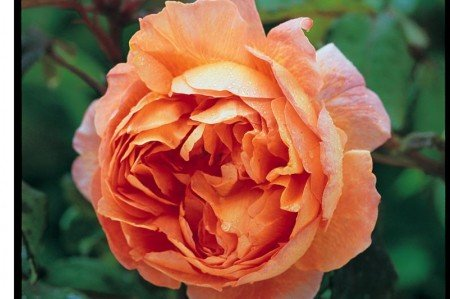 Lady Emma Hamilton Rose (Ausbrother)