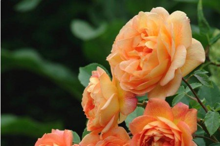 Lady of Shalott® Rose (Ausnyson)