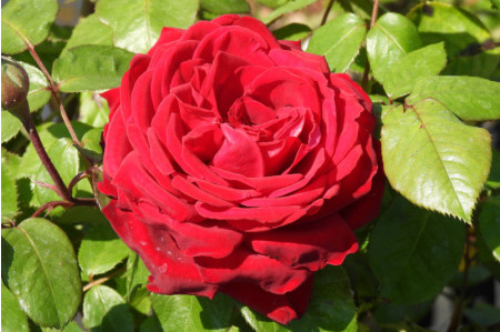 Loving Memory - Hybrid Tea Rose