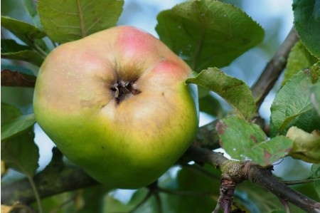 Ripe Catshead Apple on the tree