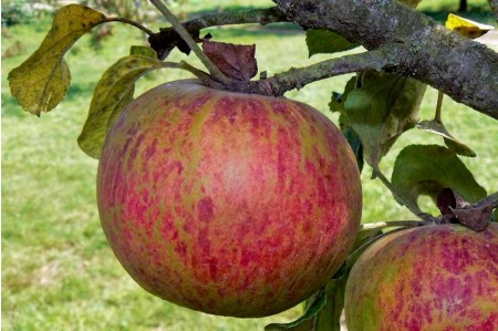 Fillbarrell Cider Apples in August