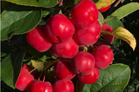 Malus robusta Red Sentinel Crabapples