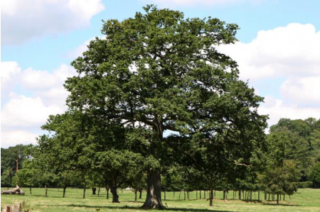 Mature English Oak