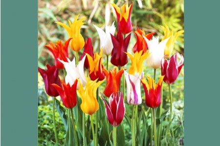 Lily flowered tulips in flower