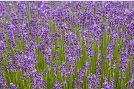 Lavender Munstead Flowers