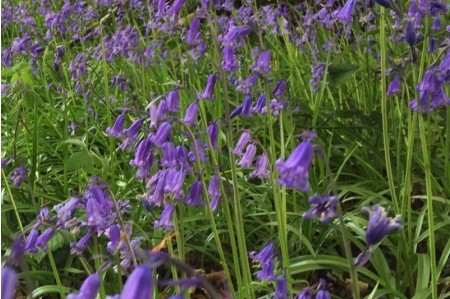 English bluebell (Hyacinthoides non-scripta) bulbs