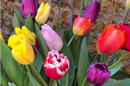 Tulip -  Naturalising Collection