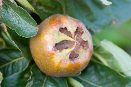 Nottingham Medlar Fruit on the tree in August
