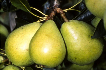 Invincible Pears on the tree