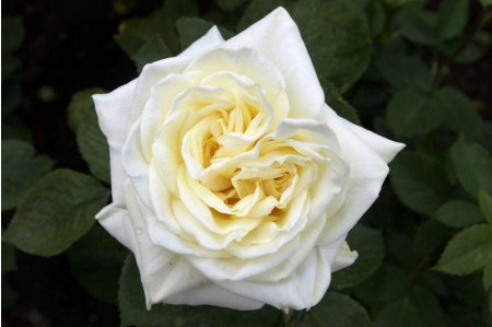 Polar Star Rose