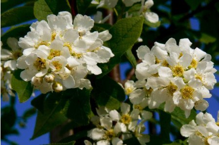 Prunus padus Watereri