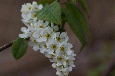 Prunus Padus - Bird Cherry
