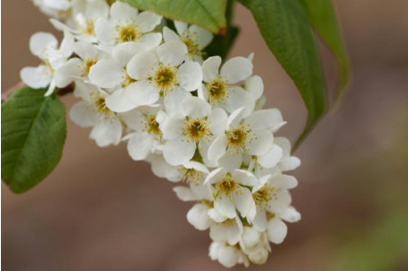 Prunus Padus - Bird Cherry in Flower