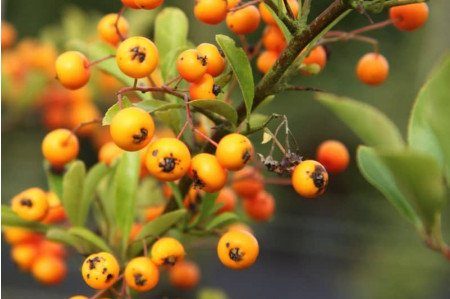 Pyracantha Soleil d'Or Berries