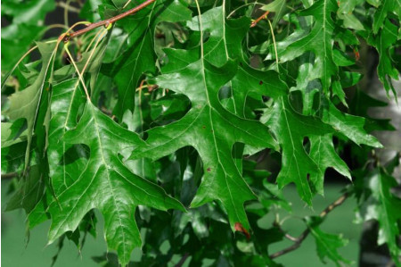 Pin Oak leaves
