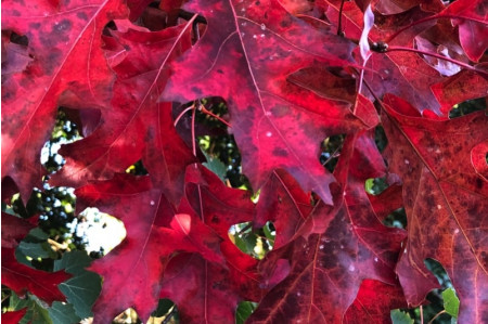 Red Oak leaves at their best in late October