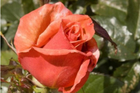 Remember Me Hybrid Tea Rose