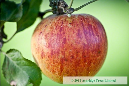 Apple Trees - Ribston Pippin