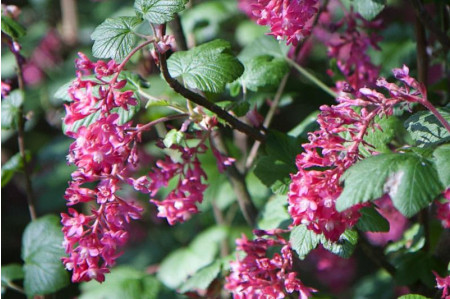 King Edward VII Winter Currant - Ribes sanguineum