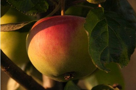 Peasgood Nonsuch Apples