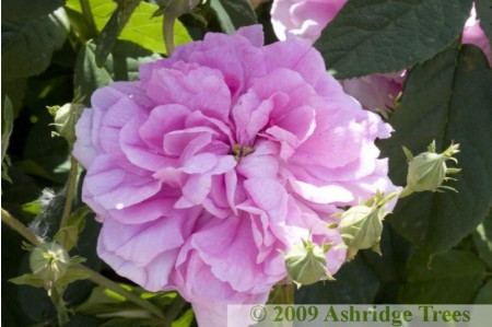 Ispahan - Shrub Rose