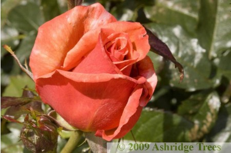 Remember Me - Hybrid Tea Rose